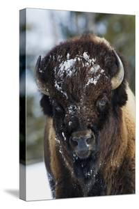 Bison Bull, Winter by Ken Archer
