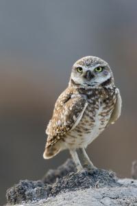 Burrowing Owl by Ken Archer
