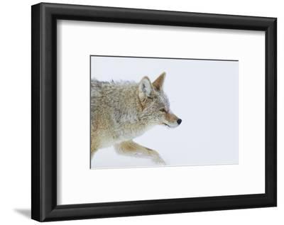 Coyote, Winter Travel