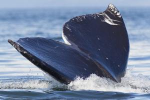 Gray Whale Diving, Hood Canal, Washington State by Ken Archer