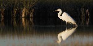 Great Egret by Ken Archer