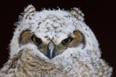 Great Horned Owlet by Ken Archer