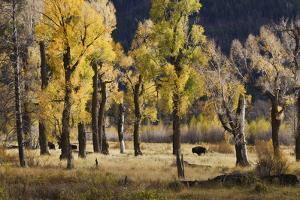 Lamar Valley Bison, Yellowstone by Ken Archer