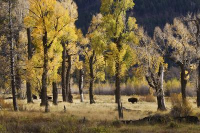 Lamar Valley Bison, Yellowstone