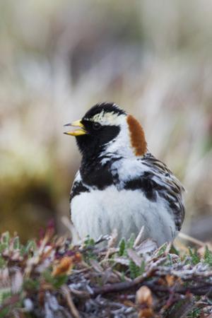 Lapland Longspur Singing by Ken Archer