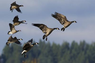 Lesser Canada Geese Alighting by Ken Archer