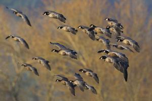 Lesser Canada Geese Flock Alighting by Ken Archer