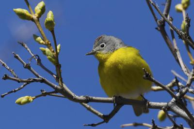 Macgillivray's Warbler (Geothlypis Tolmiei) Perched by Ken Archer
