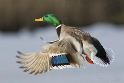 Mallard Drake Taking Flight