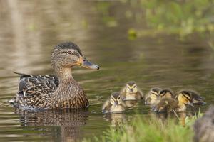 Mallard Hen with Ducklings by Ken Archer