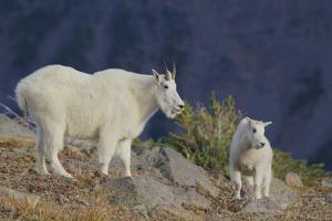 Mountain Goat, nanny with kid by Ken Archer