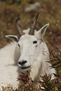 Mountain Goat Portrait by Ken Archer