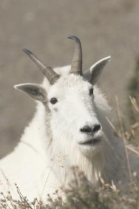 Mountain Goat by Ken Archer