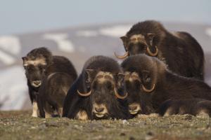 Musk Ox herd resting by Ken Archer