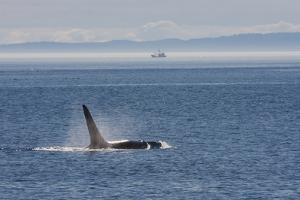 Orca whale surfacing. by Ken Archer