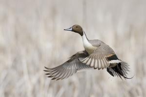 Pintail Duck in Flight by Ken Archer
