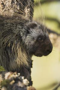 Porcupine by Ken Archer