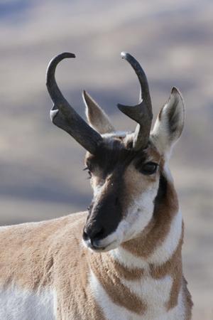 Pronghorn Antelope buck by Ken Archer