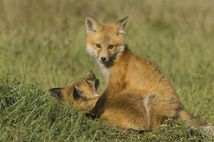 Red Fox Kits by Ken Archer
