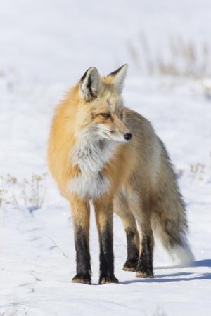 Red Fox by Ken Archer