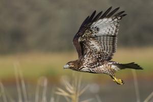 Red-tail Hawk by Ken Archer