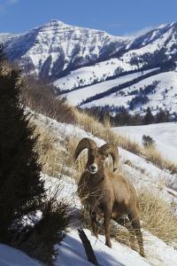 Rocky Mountain Bighorn Sheep Ram by Ken Archer
