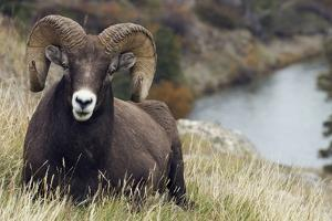 Rocky Mountain Bighorn Sheep Ram by Ken Archer