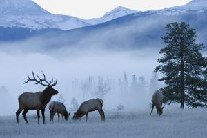 Rocky Mountain Bull Elk and Cows, Frosty Morning by Ken Archer