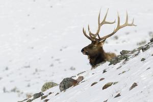 Rocky Mountain Bull Elk, Autumn Snow by Ken Archer