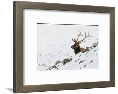 Rocky Mountain Bull Elk, Autumn Snow