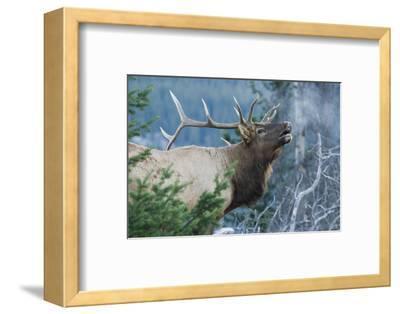 Rocky Mountain Bull Elk Bugling