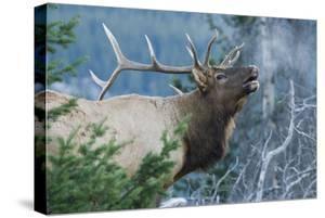 Rocky Mountain Bull Elk Bugling by Ken Archer