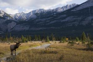 Rocky Mountain Bull Elk, Canadian Rockies by Ken Archer