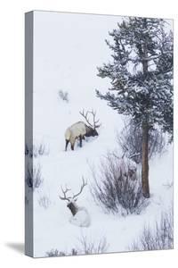 Rocky Mountain Bull Elk During Snowstorm by Ken Archer