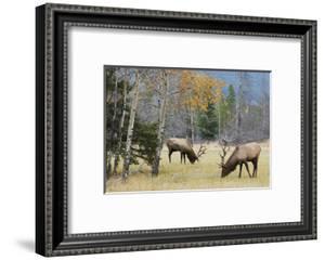 Rocky Mountain Bull Elk Foraging by Ken Archer