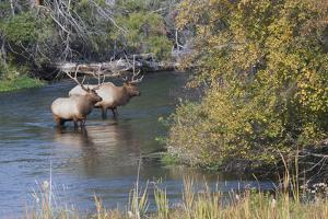 Rocky Mountain Bull Elk in River by Ken Archer