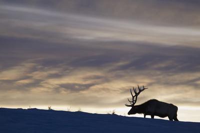 Rocky Mountain Bull Elk, Winter Sunset