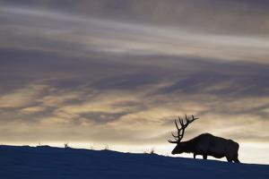 Rocky Mountain Bull Elk, Winter Sunset by Ken Archer