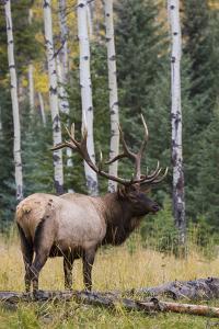 Rocky Mountain Bull Elk by Ken Archer
