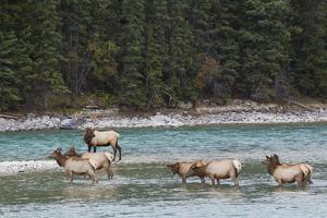 Rocky Mountain Elk Herd by Ken Archer