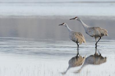Sandhill Crane Pair Preparing to Take Flight by Ken Archer