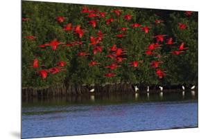 Scarlet Ibis flock by Ken Archer