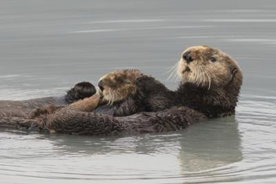 Sea Otters, Mother with Pup by Ken Archer