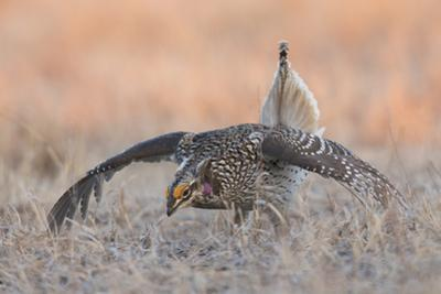 Sharp-tailed grouse, courtship display by Ken Archer
