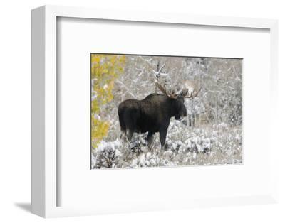 Shiras Bull Moose, Autumn Snow