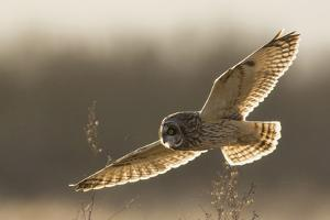 Short-Eared Owl Hunting by Ken Archer