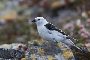 Snow Bunting by Ken Archer