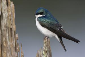 Tree Swallow by Ken Archer