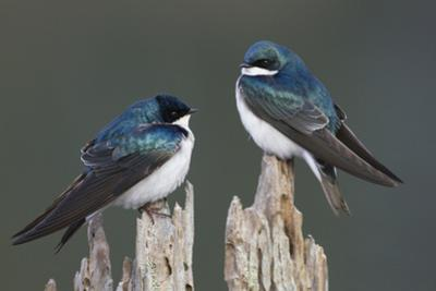 Tree Swallows by Ken Archer