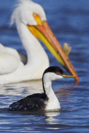 Western Grebe and American White Pelican by Ken Archer